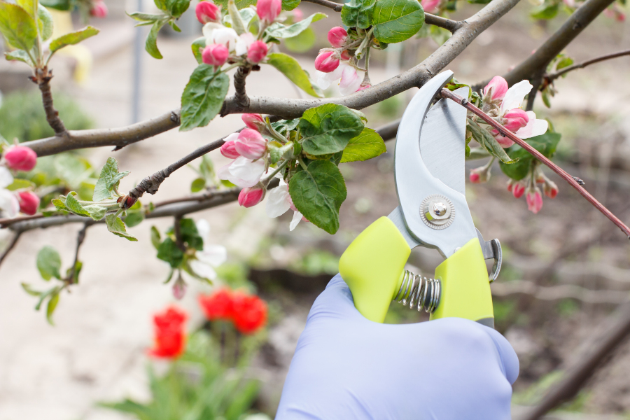 Pruning flowering tree.